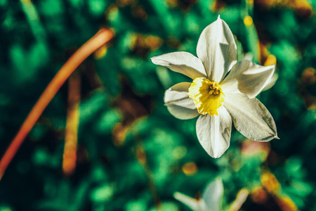 Blooming Narcissus daffodils. Flower bed jonquils with blurred bokeh background. Inspirational natural floral spring or summer blooming garden or park. Colorful blooming ecology nature landscape Stok Fotoğraf