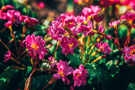 Primrose Primula with pink flowers. Inspirational natural floral spring or summer blooming garden or park under soft sunlight and blurred bokeh background. Colorful blooming ecology nature landscape