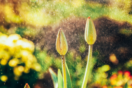 Flower tulip start to bloom buds. Inspirational natural floral spring or summer blooming garden or park under soft sunlight and blurred bokeh background. Colorful blooming ecology nature landscape