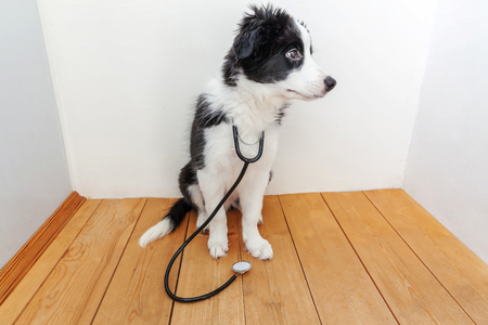 Puppy dog border collie with stethoscope on neck. Little dog on reception at veterinary doctor in vet clinic. Pet health care and animals concept