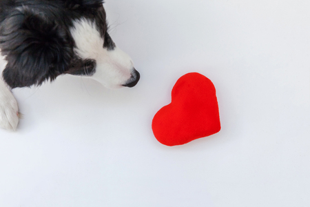 Funny studio portrait of cute smilling puppy dog border collie with red heart isolated on white background. New lovely member of family little dog gazing and waiting for reward. Pet care and animals concept