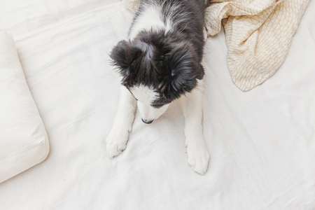 Funny portrait of cute smilling puppy dog border collie lay on pillow blanket in bed. New lovely member of family little dog at home lying and sleeping. Pet care and animals concept