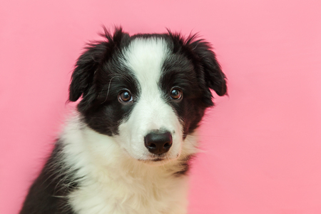 Funny studio portrait of cute smilling puppy dog border collie isolated on pink pastel background. New lovely member of family little dog gazing and waiting for reward. Pet care and animals concept