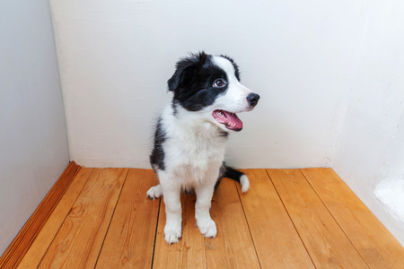 Funny portrait of cute smilling puppy dog border collie indoor. New lovely member of family little dog at home gazing and waiting. Pet care and animals concept Stok Fotoğraf