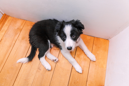 Funny portrait of cute smilling puppy dog border collie indoor. New lovely member of family little dog at home gazing and waiting. Pet care and animals concept Stock Photo