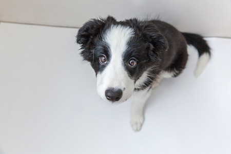 Funny studio portrait of cute smilling puppy dog border collie isolated on white background. New lovely member of family little dog gazing and waiting for reward. Pet care and animals concept