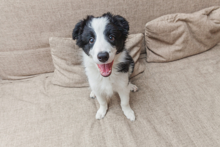Funny portrait of cute smilling puppy dog border collie on couch. New lovely member of family little dog at home gazing and waiting. Pet care and animals concept