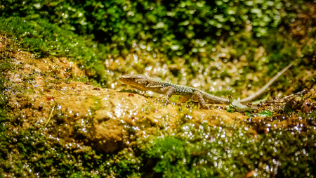 Nimble green reptile lizard closeup, basking on rock covered with moss and lichen under the sun. The sand lizard