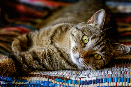 Pet care and animals concept. Arrogant short-haired domestic beautiful tabby cat lying on the fluffy striped carpet