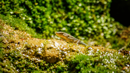 Nimble green reptile lizard closeup, basking on rock covered with moss and lichen under the sun. The sand lizard Stockfoto