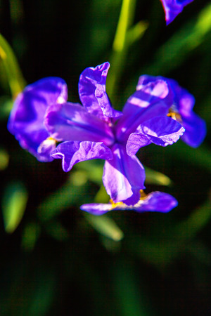 Flower bed with purple irises and blurred bokeh background. Inspirational natural floral spring or summer blooming garden or park. Colorful blooming ecology nature landscape 写真素材