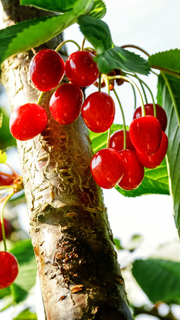 Inspirational natural floral garden or park. Colorful ecology nature landscape. Sweet cherry red berries on tree branch close up. Summer in garden