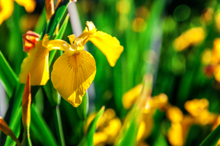 Flower bed with yellow irises and blurred bokeh background. Inspirational natural floral spring or summer blooming garden or park. Colorful blooming ecology nature landscape