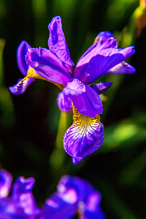 Flower bed with purple irises and blurred bokeh background. Inspirational natural floral spring or summer blooming garden or park. Colorful blooming ecology nature landscape Archivio Fotografico