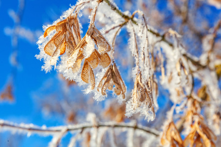 Frosty maple tree branch seeds in snowy forest, cold weather in sunny morning. Tranquil winter nature in sunlight. Inspirational natural winter garden, park. Peaceful cool ecology landscape background Stock Photo