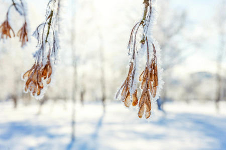 Frosty maple tree branch seeds in snowy forest, cold weather in sunny morning. Tranquil winter nature in sunlight. Inspirational natural winter garden, park. Peaceful cool ecology landscape background Imagens