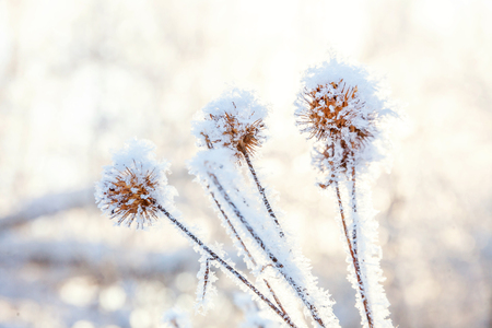 Frosty burdock grass in snowy forest, cold weather in sunny morning. Tranquil winter nature in sunlight. Inspirational natural winter garden, park. Peaceful cool ecology landscape background
