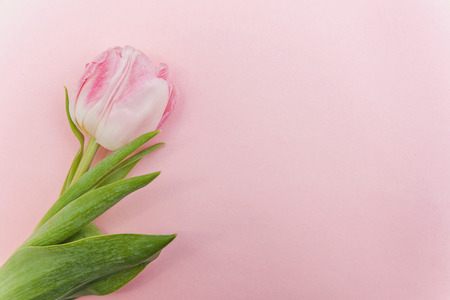 Spring greeting card. Bouquet of fresh light pastel pink tulips flowers on trendy modern colourful pink background. Happy holiday easter mother day anniversary valentine day birthday concept. Flat lay top view copy space Imagens