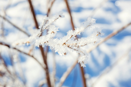 Frosty tree branch in snowy forest, cold weather in sunny morning. Tranquil winter nature in sunlight. Inspirational natural winter garden or park. Peaceful cool ecology nature landscape background