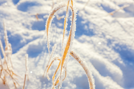 Frosty grass in snowy forest, cold weather in sunny morning. Tranquil winter nature in sunlight. Inspirational natural winter garden, park. Peaceful cool ecology landscape background