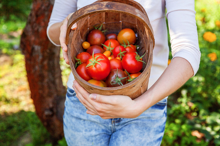 Gardening and agriculture concept. Young woman farm worker hands holding basket picking fresh ripe organic tomatoes in garden. Greenhouse produce. Vegetable food production