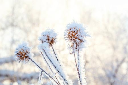 Hierba de bardana helada en bosque nevado, clima frío en mañana soleada. Naturaleza de invierno tranquilo en la luz del sol. Jardín de invierno natural inspirador, parque. Fondo de paisaje de ecología fresca pacífica