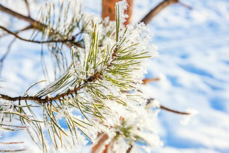 Frosty pine tree branch in snowy forest, cold weather sunny morning. Tranquil winter nature in sunlight. Inspirational natural winter garden or park. Peaceful cool ecology nature landscape background Stock fotó - 125684055