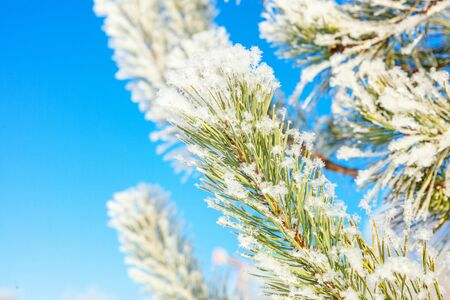 Frosty pine tree branch in snowy forest, cold weather sunny morning. Tranquil winter nature in sunlight. Inspirational natural winter garden or park. Peaceful cool ecology nature landscape background Stock fotó - 125684139