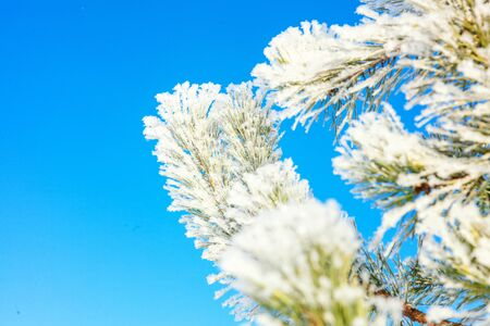 Frosty pine tree branch in snowy forest, cold weather sunny morning. Tranquil winter nature in sunlight. Inspirational natural winter garden or park. Peaceful cool ecology nature landscape background