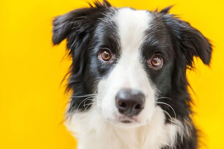 Funny studio portrait of cute smilling puppy dog border collie isolated on yellow background. New lovely member of family little dog gazing and waiting for reward. Pet care and animals concept