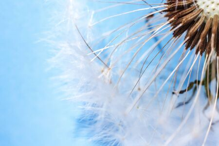 Dandelion seeds blowing in wind summer field on blue background. Change growth movement and direction concept. Inspirational natural floral spring or summer garden or park. Ecology nature landscape