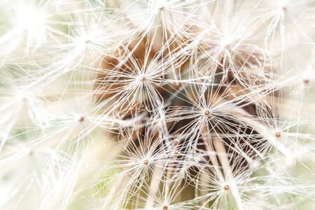 Dandelion seeds blowing in wind in summer field background. Change growth movement and direction concept. Inspirational natural floral spring or summer garden or park. Ecology nature landscape Zdjęcie Seryjne