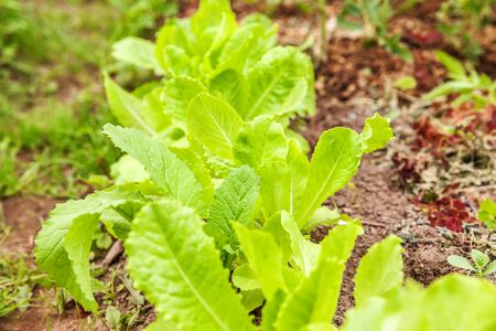 Agricultural field with green leaf lettuce salad on garden bed in vegetable field. Gardening background with green lettuce plants. Organic health food vegan vegetarian diet concept