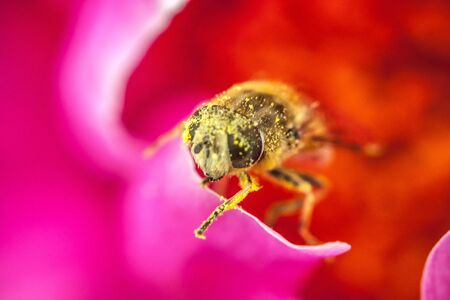 Honey bee covered with yellow pollen drink nectar, pollinating pink flower. Inspirational natural floral spring or summer blooming garden or park background. Life of insects. Macro close up