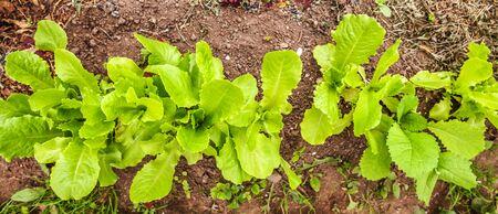 Agricultural field with green leaf lettuce salad on garden bed in vegetable field. Gardening background with green lettuce plants. Organic health food vegan vegetarian diet concept. Banner Zdjęcie Seryjne