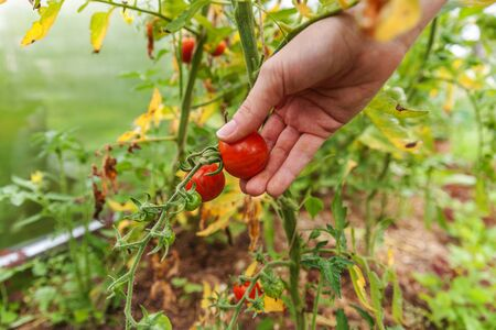 Gardening and agriculture concept. Woman farm worker hand picking fresh ripe organic tomatoes. Greenhouse produce. Vegetable food production. Tomato growing in greenhouse Reklamní fotografie