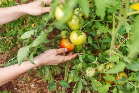Gardening and agriculture concept. Woman farm worker hand picking fresh ripe organic tomatoes. Greenhouse produce. Vegetable food production. Tomato growing in greenhouse Reklamní fotografie - 137799038