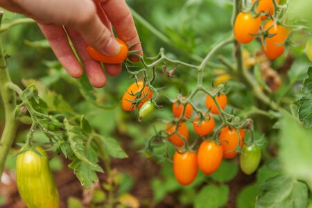 Gardening and agriculture concept. Woman farm worker hand picking fresh ripe organic tomatoes. Greenhouse produce. Vegetable food production. Tomato growing in greenhouse Reklamní fotografie - 137799593