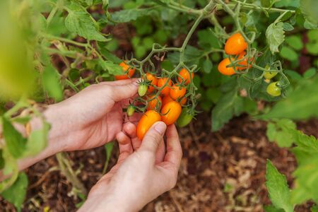 Gardening and agriculture concept. Woman farm worker hand picking fresh ripe organic tomatoes. Greenhouse produce. Vegetable food production. Tomato growing in greenhouse Reklamní fotografie - 137800781
