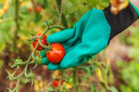 Gardening and agriculture concept. Woman farm worker hand in glove picking fresh ripe organic tomatoes. Greenhouse produce. Vegetable food production. Tomato growing in greenhouse Reklamní fotografie - 137800250