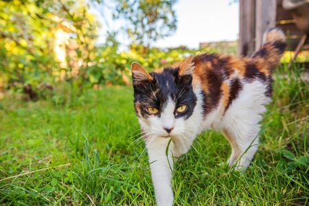 Arrogant short-haired domestic beautiful tabby cat sneaks through fresh green grass meadow background. Kitten walks outdoors in garden on summer day. Pet care health and animals concept Standard-Bild