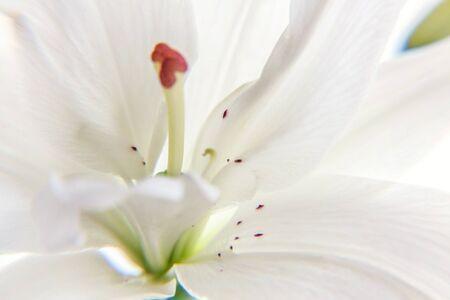 Schöne weiße Lilie Blume Nahaufnahme Detail in der Sommerzeit. Hintergrund mit blühendem Blumenstrauß. Inspirierender natürlicher Blumenfrühling blühender Garten oder Park. Ökologie Naturkonzept
