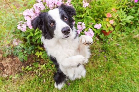Outdoor portrait of cute smilling puppy border collie sitting on grass flower background. New lovely member of family little dog jumping and waiting for reward. Pet care and funny animals life concept