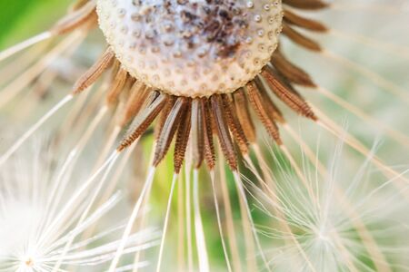 Dandelion seeds blowing in wind in summer field background. Change growth movement and direction concept. Inspirational natural floral spring or summer garden or park. Ecology nature landscape Reklamní fotografie