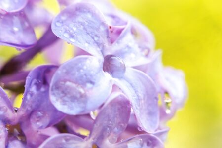 Beautiful smell violet purple lilac blossom flowers in spring time. Close up macro twigs of lilac with rain drops. Inspirational natural floral blooming garden or park. Ecology nature landscape Reklamní fotografie