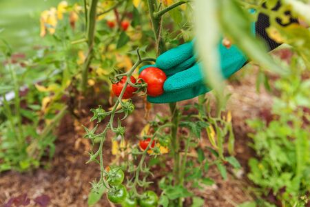 Gardening and agriculture concept. Woman farm worker hand in glove picking fresh ripe organic tomatoes. Greenhouse produce. Vegetable food production. Tomato growing in greenhouse