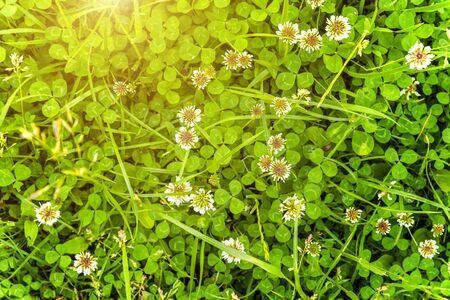 Meadow with white clover flowers. Dutch clover on lawn in spring or summer garden. Lawn carpet with white clover and green grass. Natural floral background. Blooming ecology nature landscape Reklamní fotografie