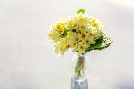 Easter concept. Bouquet of Primrose Primula with yellow flowers in glass vase on white backdrop. Inspirational natural floral spring or summer blooming background. Copy space Reklamní fotografie