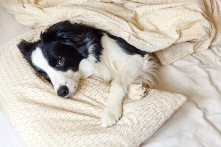 Portrait of cute smilling puppy dog border collie lay on pillow blanket in bed. Do not disturb me let me sleep. Little dog at home lying and sleeping. Pet care and funny pets animals life concept