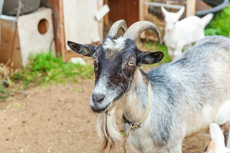 Cute chick goat relaxing in ranch farm in summer day. Domestic goats grazing in pasture and chewing, countryside background. Goat in natural eco farm growing to give milk and cheese 免版税图像
